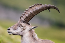 Male Ibex near Lake Thun, Switzerland